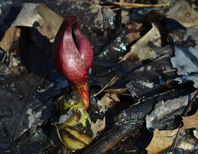 skunk cabbage 1
