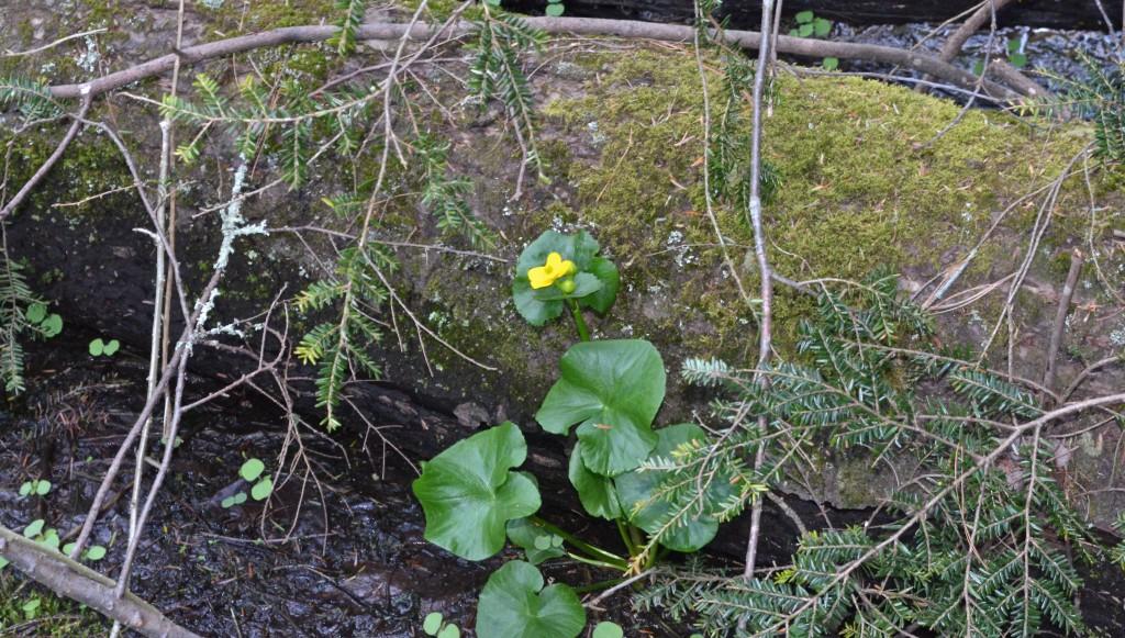 Marsh marigold in situ