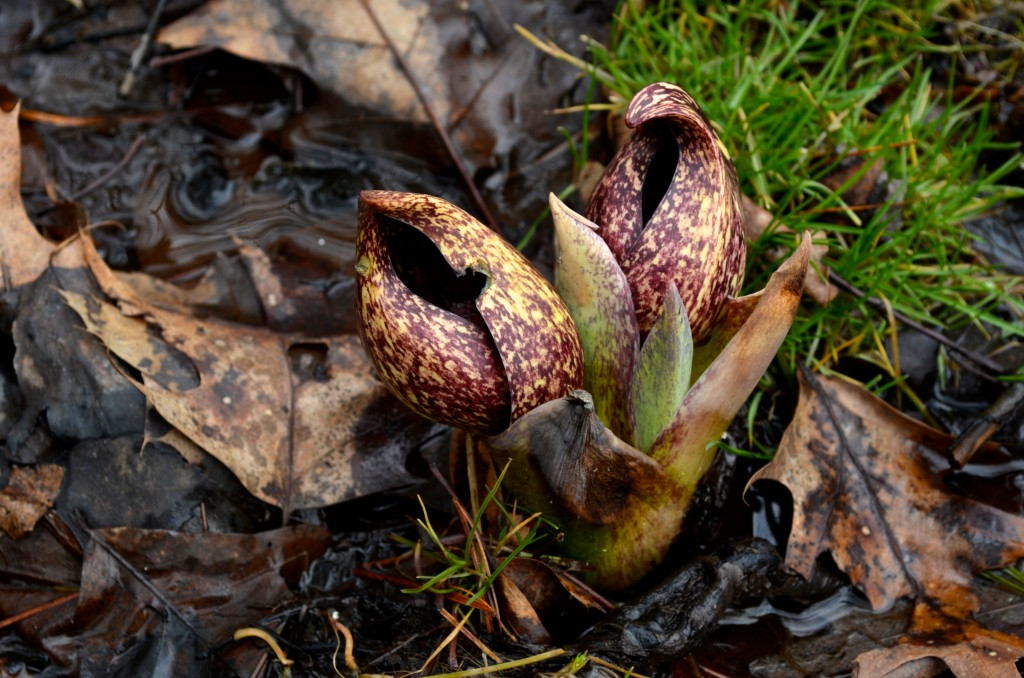 Skunk Cabbage and oak leaves