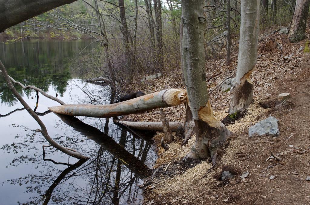 Beaver lumberjacking