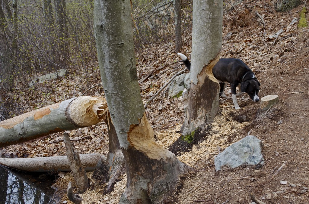 Beaver work with Lucy for scale