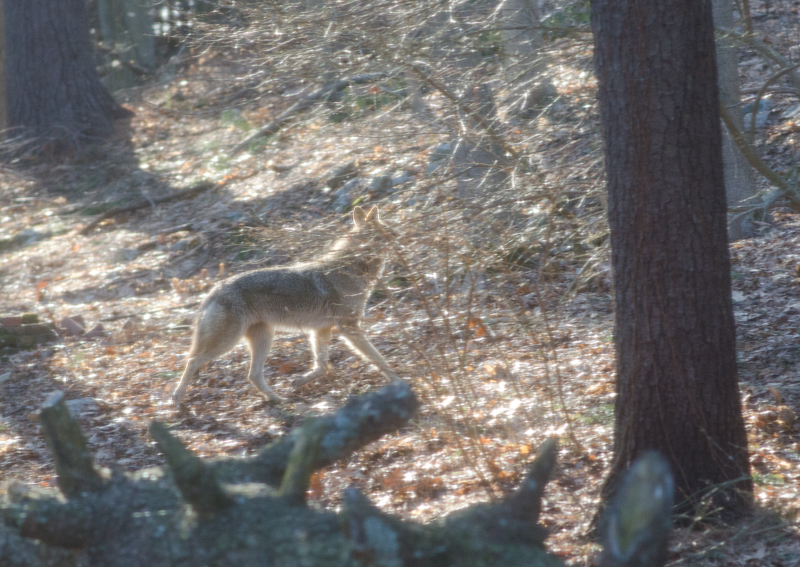 coyotes in Needham, MA
