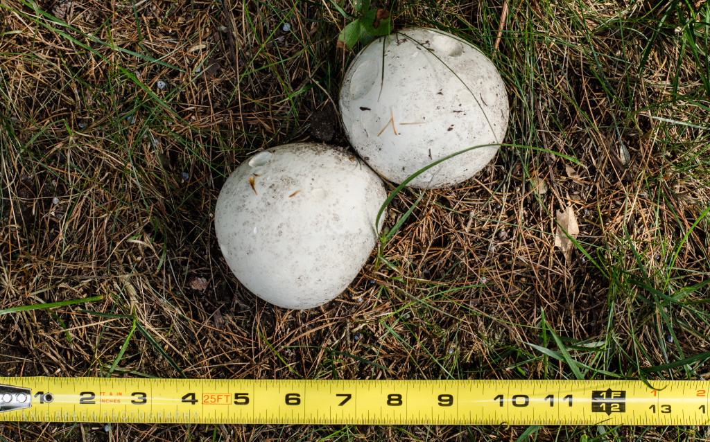 Double puffball 1