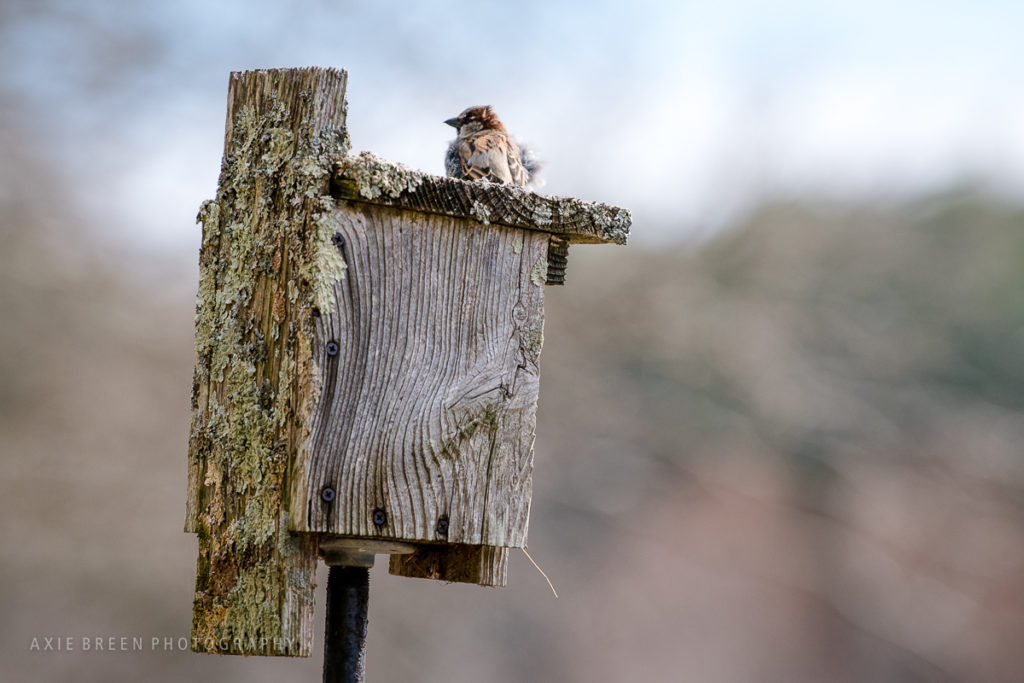 sparrow, nature, Rocky Narrows, Axie Breen Photography